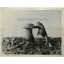 1930's Press Photo Curious Toad Leaning on Toadstool to Get a Better Look