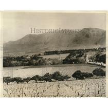 1926 Press Photo Vineyards at Great Constatia on cape of South Africa