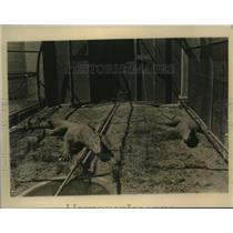 1926 Vintage Press Photo Giant Monitor Lizards Bronx Zoological Gardens