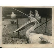 1928 Press Photo Pelican in London zoo waiting for lunch.