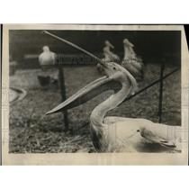 1929 Press Photo Pelicans at the London England Zoo