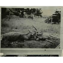 1926 Press Photo Two deer that fought & died with antlers tangled
