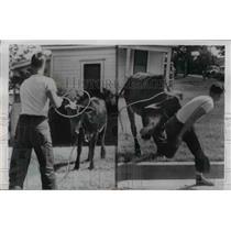 1954 Press Photo Ft Worth Texas Arthur Grist roping a braham heifer