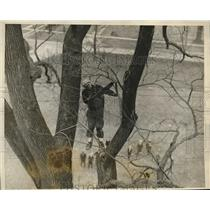 1925 Press Photo Tree Surgeon Climbs Historic Wethersfield Elm, Connecticut