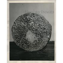 1940 Press Photo Cross Section of Piling Honeycombed by Marine Fifth Columnists
