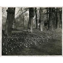 1932 Press Photo Trinity College Cambridge England crocuses in bloom
