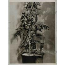 1937 Press Photo Tomato Plant Grown from Seed Without Soil in Dilute Chemicals