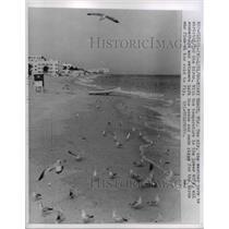 1960 Press Photo Picture of seagals on Miami Beach in Florida  - nee37102