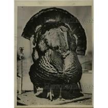 1925 Press Photo Greatest Gobbler Thanksgiving Turkey - nee38757