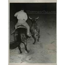 1938 Press Photo The Brahma Bull heading for the last roundup - nee37052