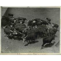 1936 Press Photo Cattle Crowd Around Water Hole, South Dakota - nee42347