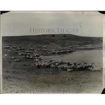 1932 Press Photo Sheep Flocks Beside Pond, Cody Wyoming  - nee45185