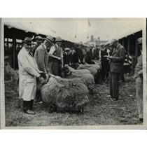 1925 Press Photo Judging Black-faced Scotch Mountain Shearling Rams  - nee45225