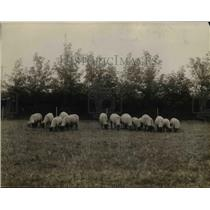 1923 Press Photo Sheep on an irrigated farm- All the trees have been planted.
