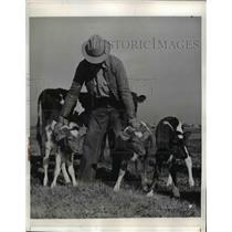 1942 Press Photo Palm City, CA-J. Ralph Anderson Shown With Triplet calves.