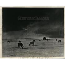 1930 Photo cattle graze on Texas Ranger Hickman Price's ranch Amarillo TX