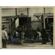 1922 Press Photo Hattie getting to her feet with aid of truck, log chains & men