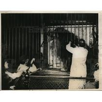 1924 Press Photo Lion at Cinncinati zoo gets haircut of his mane