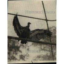 1925 Press Photo Kolbe Vulture of South Africa New York Zoo  - nee70252