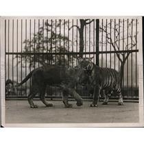 1926 Press Photo Jack the lion cub & Teddy the tiger cub at London zoo