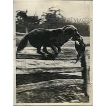 1928 Press Photo Ottershaw Sunclad a retriever in trials at Sussex England