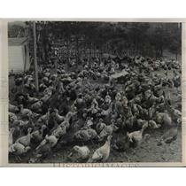 1937 Press Photo Flock of Turkeys at Elbow Brook Farm in Brimfield Massachusetts