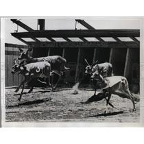 1934 Press Photo Five deer in a race at Kelsey California, trained by Mrs W Timm