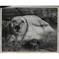 1951 Press Photo Humphrey comes up from deep water tank at Fleishhacker Zoo