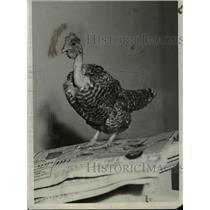 1931 Press Photo Turkhen a combination of Turkey and Chicken  - nee95830