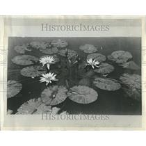 1936 Press Photo White Waterlily - RRR27631