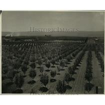 """1926 Press Photo """"Apple blossom time"""" in WA brings sign of another great harvest"""