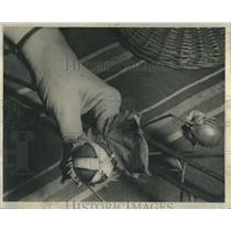 1939 Press Photo Close Up of Hand Holding Cotton Boll