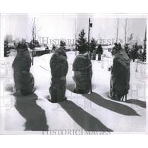 1954 Press Photo Winter Wraps Erect in Snow at Ski Club