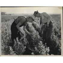 1939 Press Photo Examining Seedling Roots at Norfolk, Nebraska - nef54043