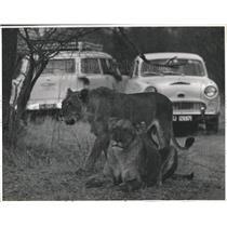1928 Press Photo Kruger National Park Tiger Reserve