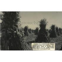 1937 Press Photo Irrigated Corn Field in Yakima Valley - spa38759