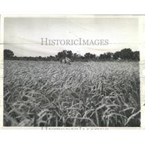 1938 Press Photo Wheat fields Kansas federal program