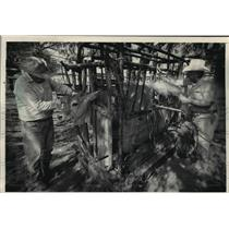 1984 Press Photo Ranch Hands at Twin Oak Ranch Mark Cattle with Branding Iron