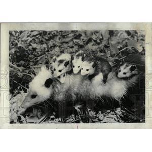 1967 Press Photo Oppossum ,night creature on roadsides. - RRW77385