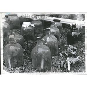 1971 Press Photo New Planting Protected By Glass Jars - RRV75307