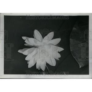 1937 Press Photo Water Lily Found in Sluggish Streams - RRU26847