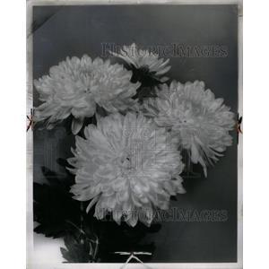 1961 Press Photo Chrysanthemums Flower Mums Plant - RRX31117