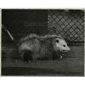 1933 Press Photo Opossum at the Brookside Zoo