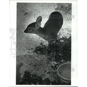 1988 Press Photo Suni antelope of Africa born March 16 at Cleveland Zoo
