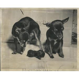 1939 Press Photo A family of Chihuahua - RRR81333