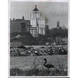 1959 Press Photo Duck Near Landfill - mja41276