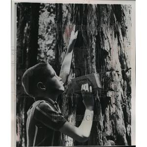 1964 Press Photo Nicky Stone, blind 10 year-old, studies texture of redwood bark