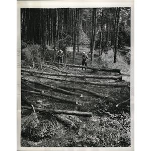 1952 Press Photo German workers cut down trees in a wooded area near Helmstedt