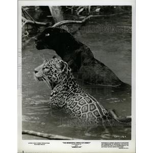 """1959 Press Photo Disney's """"Jungle Cat"""" - RRX64703"""