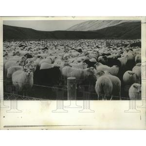 Press Photo Hundreds of sheep herded down from mountains in Iceland - nob41477